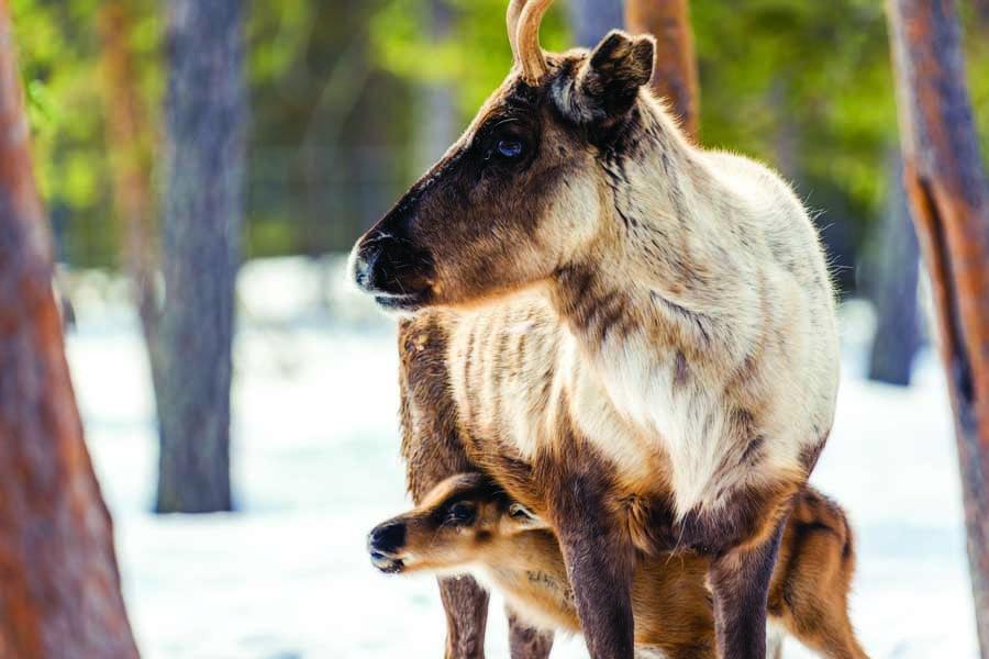 meet reindeer in lapland. image harriniva hotels safaris