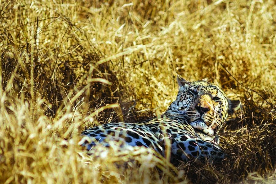 see the big seven including leopard on safari in south africa