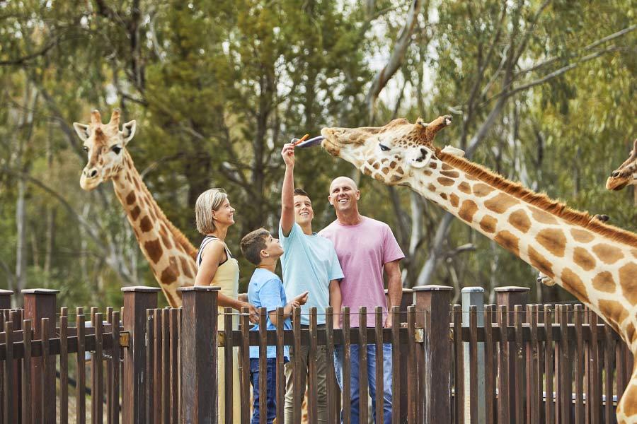 a family feeding a giraffe at tarongaa western plains zoo image destination nsw