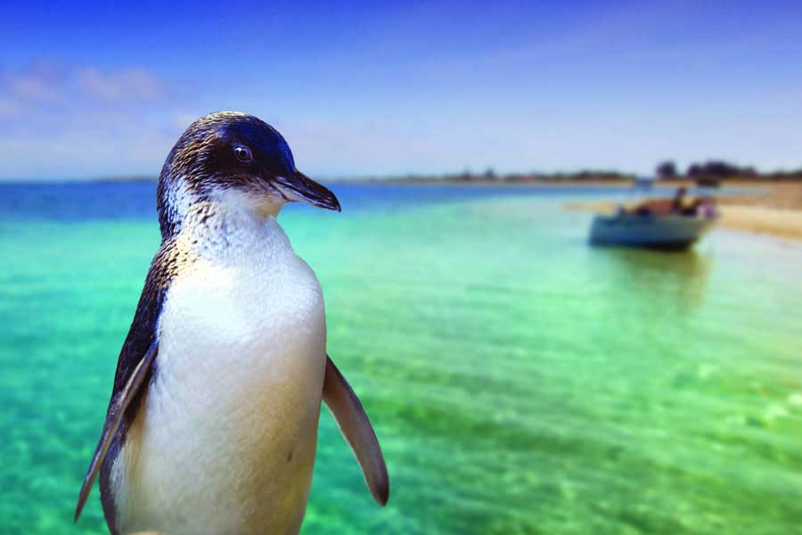 meet the wildlife on penguin island. image perth wildlife encounters