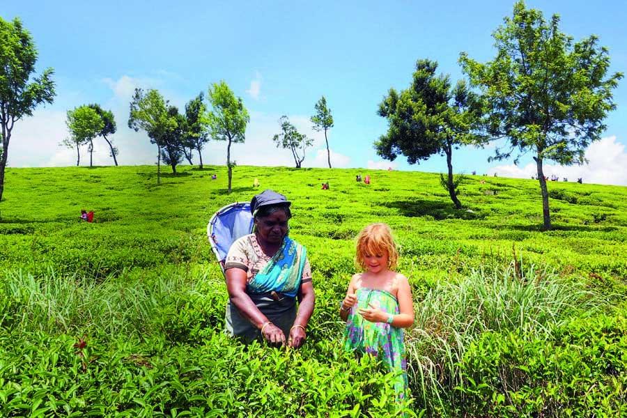 picking tea at nuwara eliya