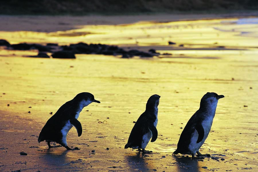 see the penguin parade at phillip island. image visit victoria