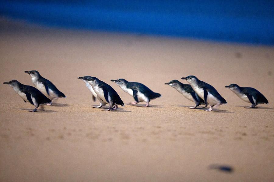 philip island penguin parade2