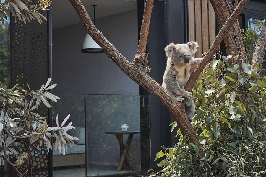 a koala outside a room at wildlife retreat at taronga
