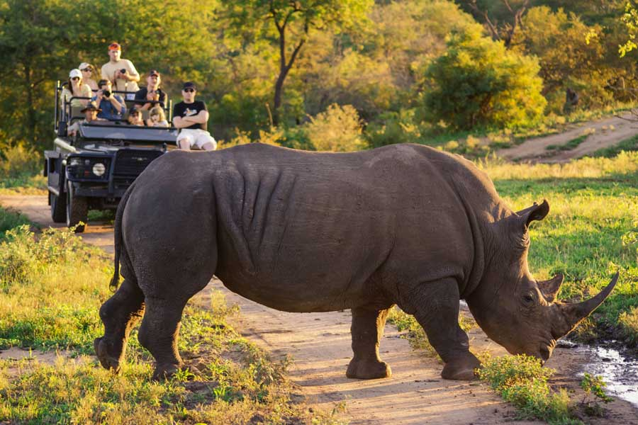 a rhino in front of a safari vehicle in south africa