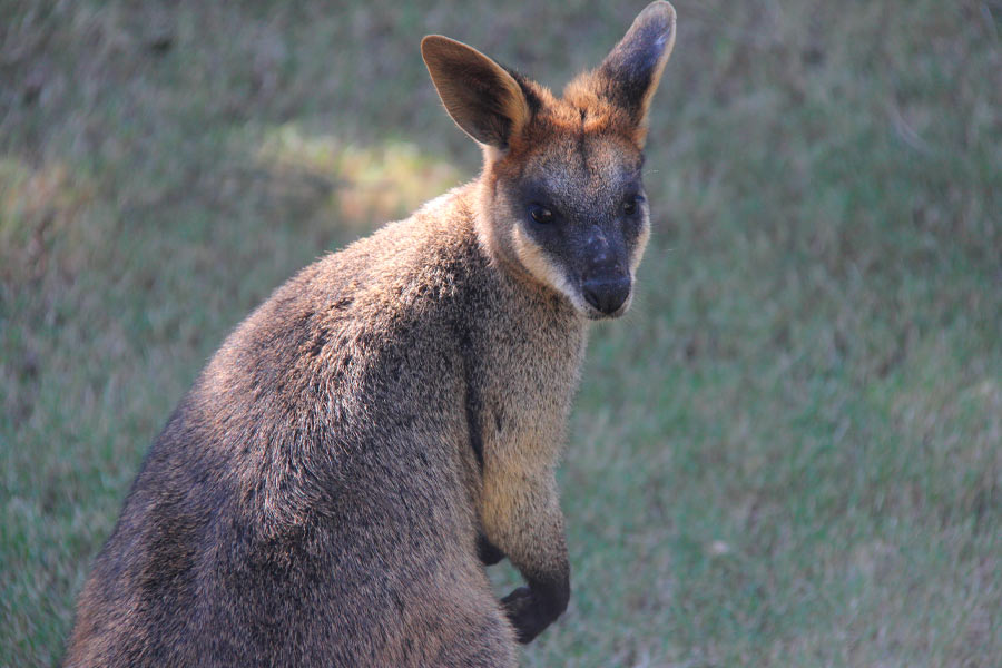 ipswich wallaby