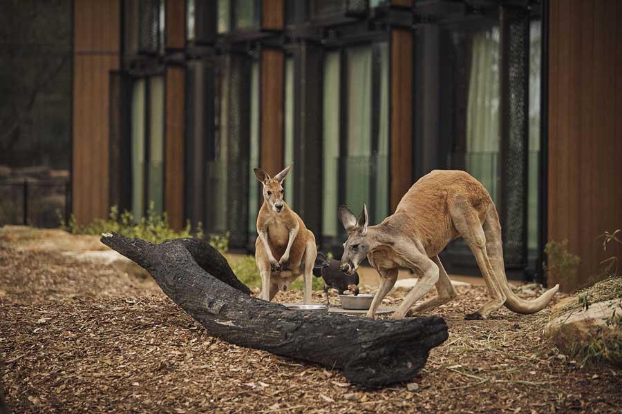 kangaroos beside wildlife retreat at taronga