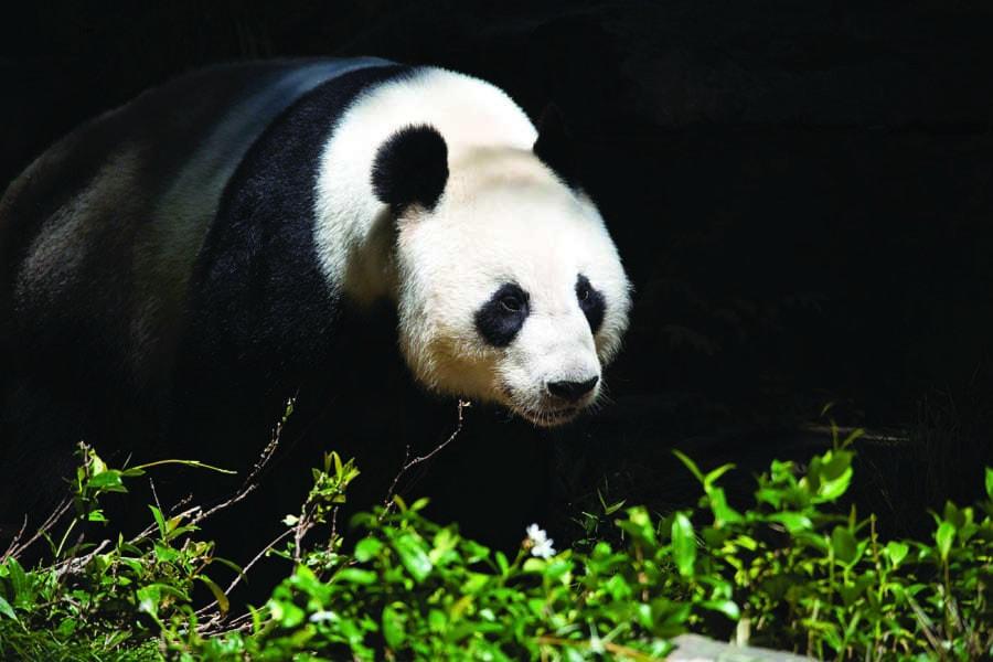 a panda at adelaide zoo. image simon wilson