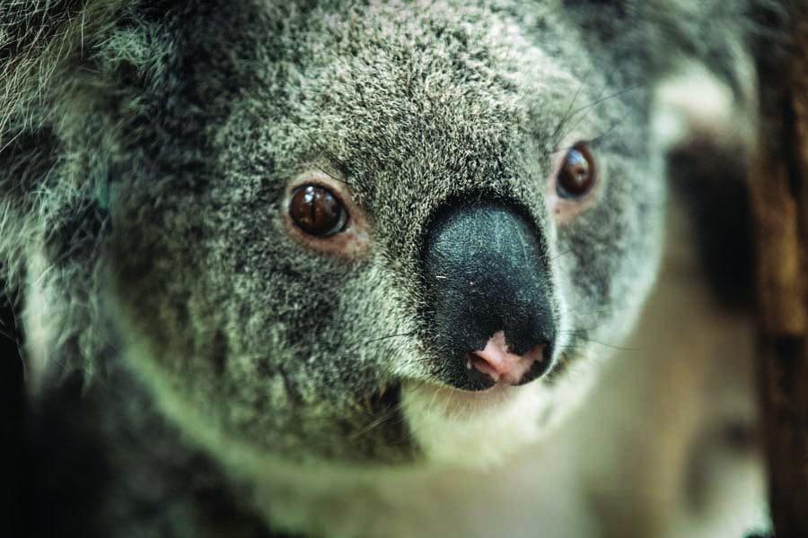 port macquarie koala hospital