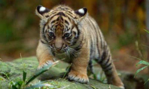Animals redux baby tiger Zoo web RickStevens