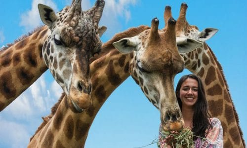 Mogo Zoo Giraffi feeding