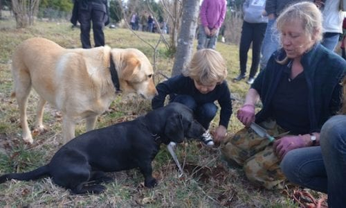 Rafferty digging for truffles with Kate and super truffle hounds Sal Shadow