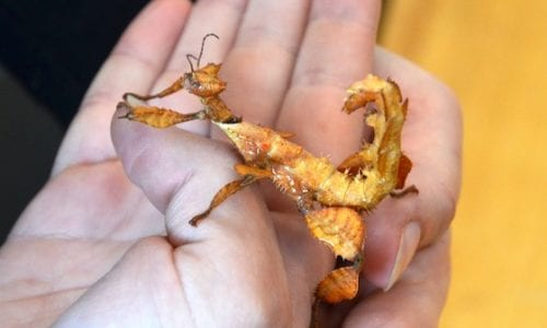 Spiny Leaf Stick Insect 560