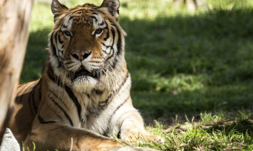 Sumatran Tiger CREDIt iStock