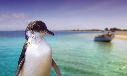 feature meet the wildlife on penguin island. image perth wildlife encounters