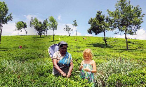 feature picking tea at nuwara eliya
