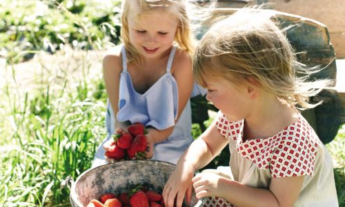 feature strawberry picking at beerenberg farm in the adelaide hills. image south australian tourism commission