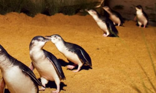 penguins phillip island